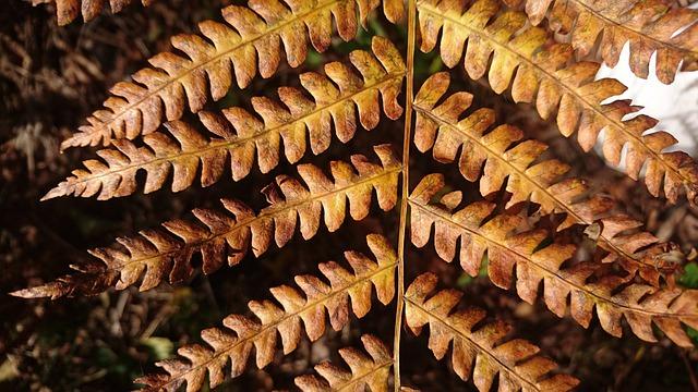 Fern, Branch, Nature, Sheet, Outdoors, Autumn, Brown