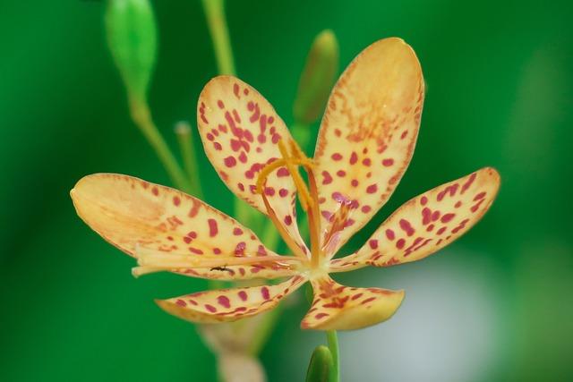 Shegan, Flower, Plant, Wild Flowers, Hua Xie, Red
