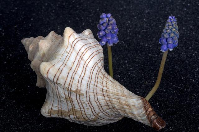 Shell, Flower, Perlhyazinth, Close, Lava Sand