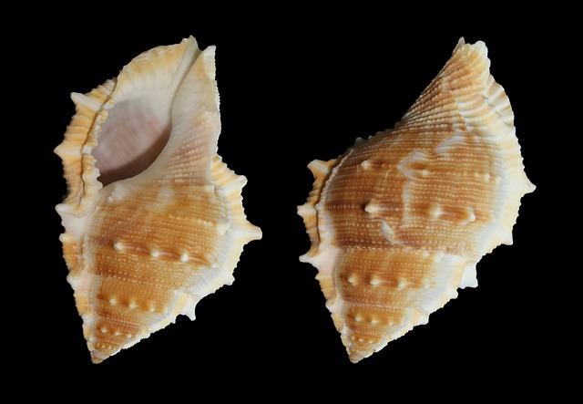Sea Snail, Snail, Bufonaria Perelegans, Shell, Seashell