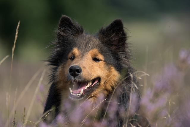 Dog, Sheltie, Animal Portrait, Close