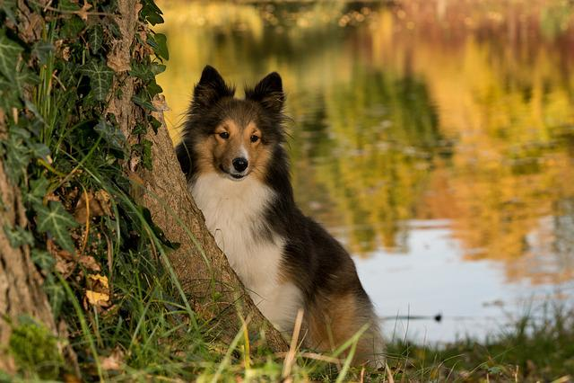 Dog, Sheltie, Tree, Pond, Close
