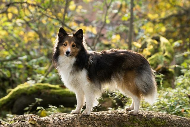 Sheltie, Dog, Tree, Leaves
