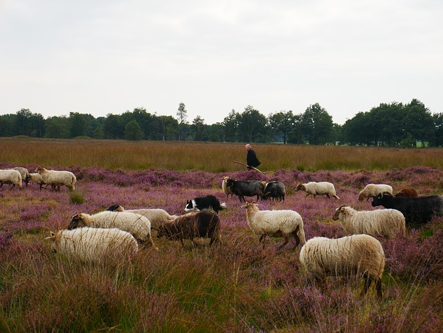 Sheep, Shepherd, Lamb, Hei, Heide, Browser, Nature