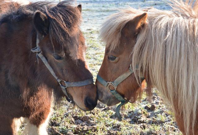 Ponies, Shetland Ponies, Equines, Ponies Gecko Glamour