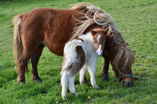 Shetland Pony, Shetland Pony With Baby Foals