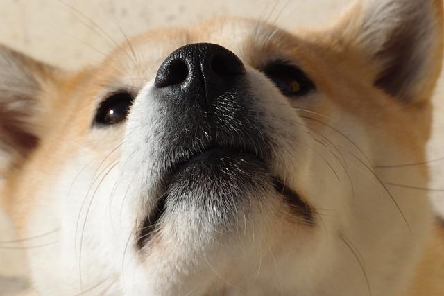 Dog, Shiba Inu, Nose
