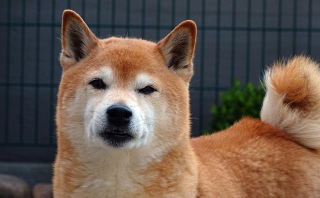 Dog, Dog Head, Portrait, Shiba, Cute, Light Brown, Fur