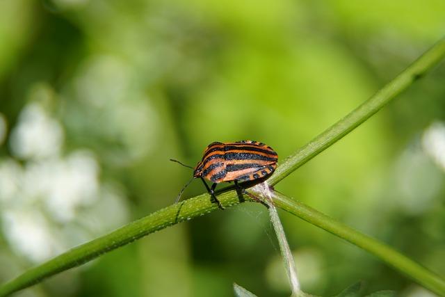 Shield, Bug, Graphosoma, Wildlife, Animal, Insect