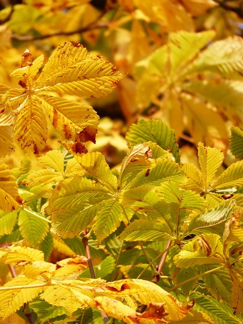 Fall Leaves, Golden, Rays, Shining, Yellow