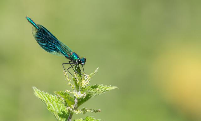 Banded Demoiselle, Dragonfly, Blue, Iridescent, Shiny