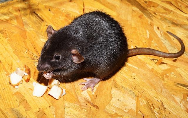 Rat, Color Rat, Black, Dear, Eat, Tame, Shiny, Fur