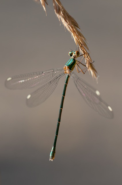 Dragonfly, Shiny, Insect