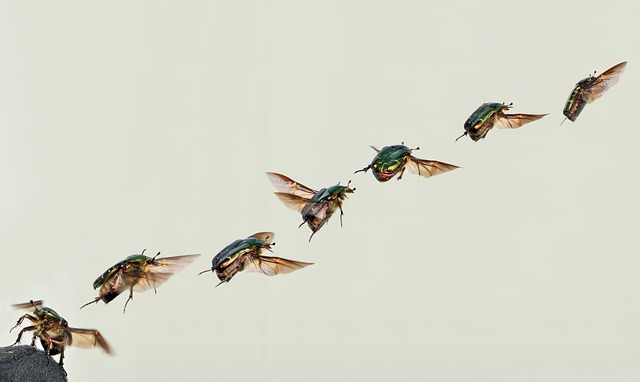 Shiny Rose Gold Beetle, Beetle, Cetoniinae, Rose Beetle