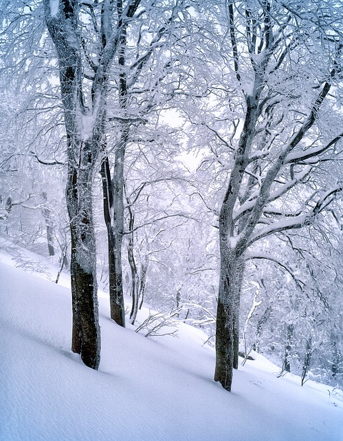 Snow, Beech Forest, Frozen, Shirakami-sanchi, January