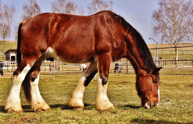 Shire Horse, Horse, Coupling, Wildlife Photography