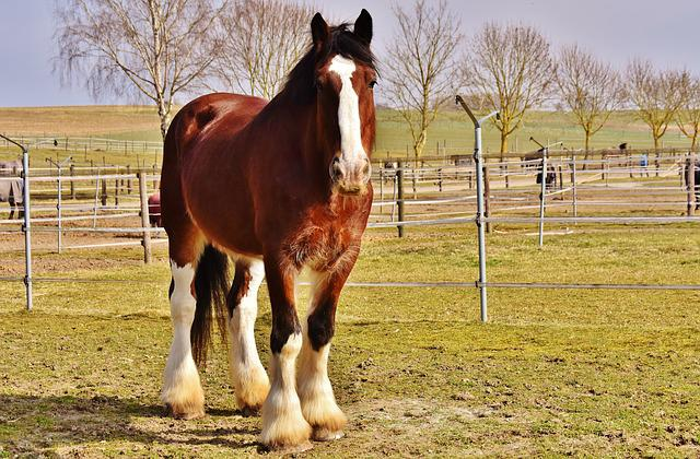 Shire Horse, Horse, Coupling, Wildlife Photography
