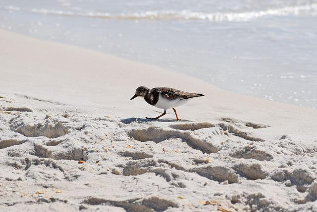 Ruddy Turnstone, Shore Bird, Winter Plumage, Animal