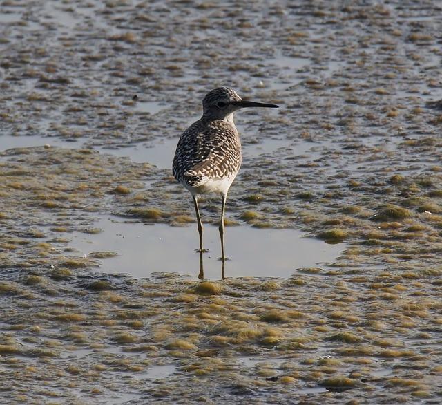 Bird, Wildlife, Shorebird, Water, Animal, Marsh, Nature