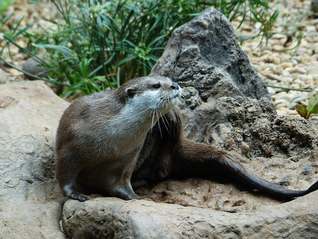 Clawed Otter, Otter, Aonyx Cinerea, Short Claw Otters