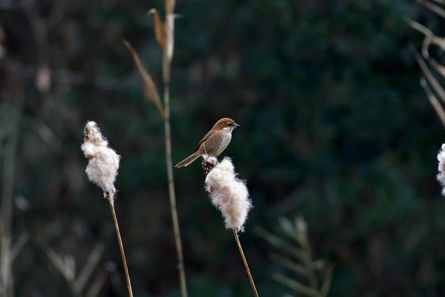 Natural, Outdoors, Bird, Shrike, Bull-headed Shrike