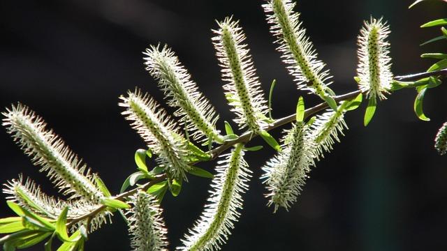 Selix Alba, Shrub, Tree, A Branch