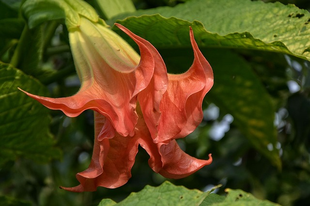 Angel Trumpet, Blossom, Bloom, Shrub, Plant