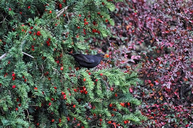 Shrub, Tree, Sheet, Nature, Bird, Thrush, Blackbird