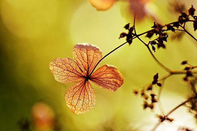 Hydrangea Petiolaris, Climbing Hydrangea, Shrub, Flower