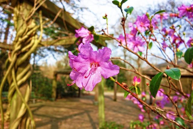 Azalea, Pink Azalea, Flower, Shrub, Rhododendron, Petal
