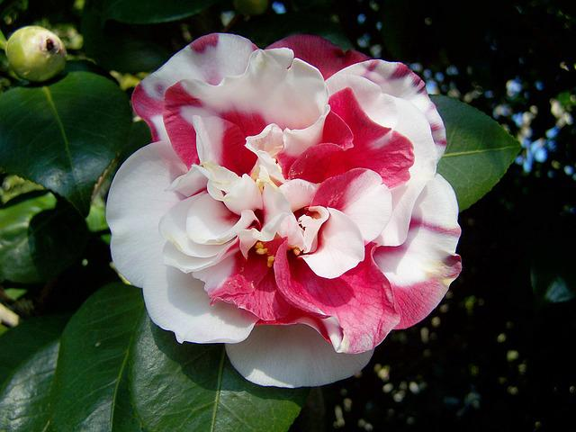 Camellia, Pink And White Flowers, Shrub