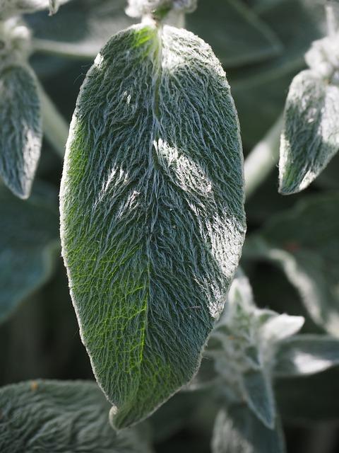 Stachys Wool, Stachys, Leaf, Plant, Shrub, Flora