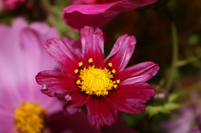Cosmea, Cosmos, Pink, Close Up, Shrub Summer, Summer