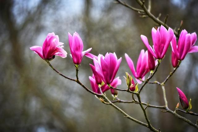 Magnolia, Flower, Shrub, Tree, Magnolioideae, Bloom