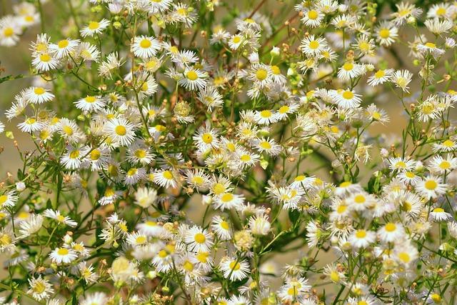 Daisy, Garden, Shrub, White Flowers, Pointed Flower