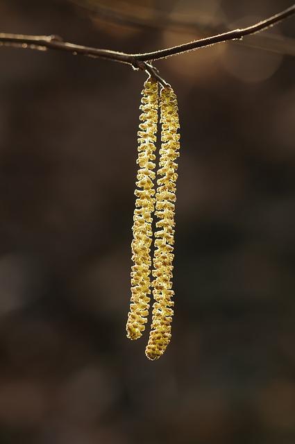 Hazelnut Kitten, Shrubs, Plant, Light, Nature