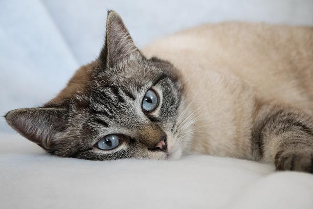 Cat, Animal, Cute, Pet, Mammal, Siam, Burma, Mackerel