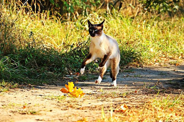 Cat, Mieze, Siam, Breed Cat, Siamese, Siamese Cat