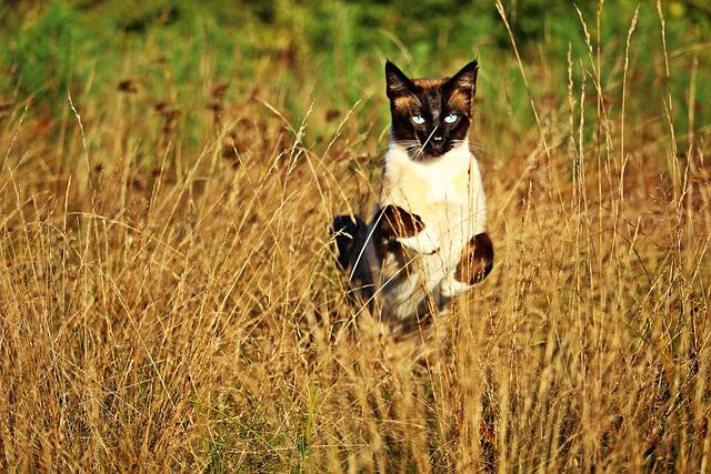 Cat, Mieze, Siamese, Breed Cat, Siamese Cat, Siam