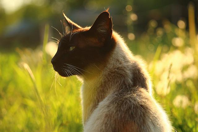 Cat, Siam, Siamese, Siamese Cat, Breed Cat, Grass