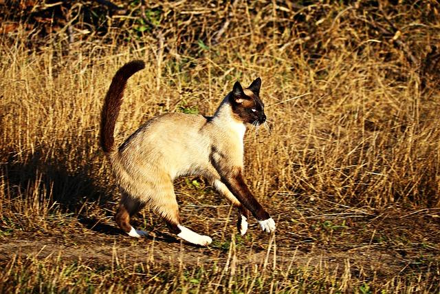 Cat, Siam, Mieze, Siamese Cat, Breed Cat, Siamese