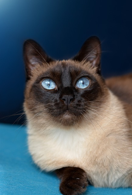 Cat, Siamese Cat, Blue Eye, Pet, Breed Cat, Siamese