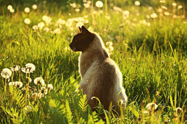 Cat, Mieze, Siamese Cat, Siam, Siamese, Breed Cat