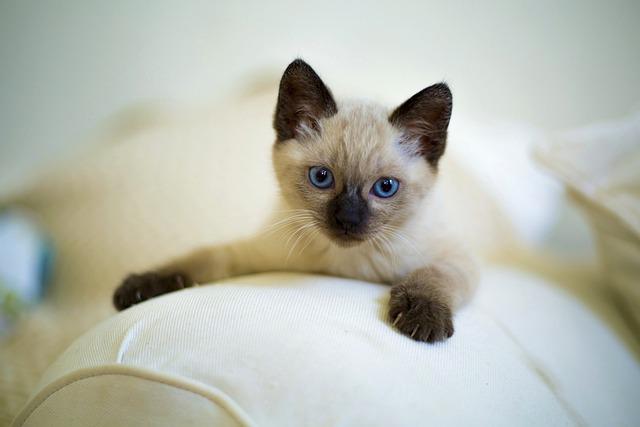 Cute, Cat, Pet, Kitten, Mammals, Little, Thai, Siamese