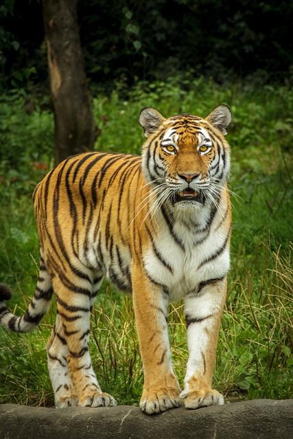 Panthera Tigris Altaica, Tiger, Siberian, Amurtiger