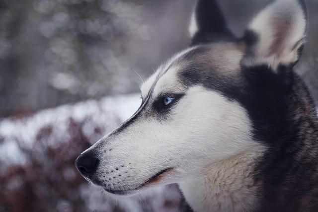 Animal, Close-up, Dog, Husky, Pet, Siberian Husky