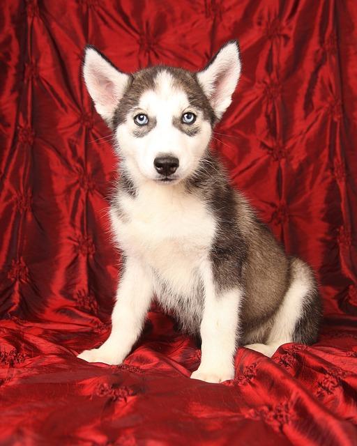 Dog, Siberian, Husky, Puppy