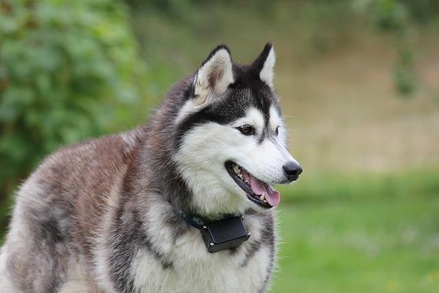Siberian, Husky, Two, Dog, Pet, Race