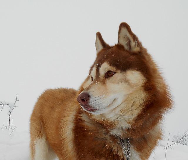 Siberian Husky, Dog, Pet, Friend, Hairy, Inuki