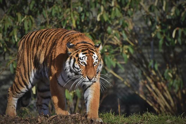 Siberian Tiger, Big Cat, Predator, Carnivores, Zoo